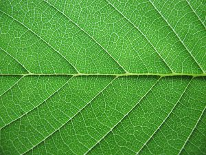 leaf-close-up